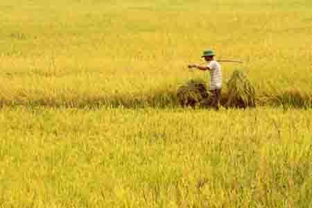Cánh đồng lúa Việt Nam - Giáo trình cây lương thực (cây lúa)