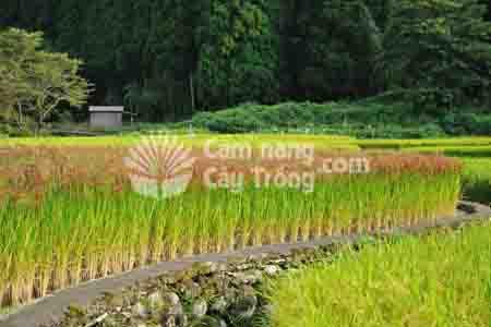 Cánh đồng lúa Nhật bản - Giáo trình cây lương thực (cây lúa)