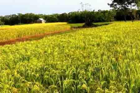 Cánh đồng lúa Philippin - Giáo trình cây lương thực (cây lúa)
