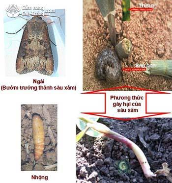 sâu xám hại cây trồng và cách phòng trị