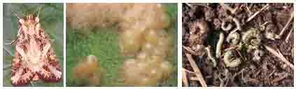 Đặc điểm hình thái sâu khoang (sâu ăn tạp) hại cây trồng