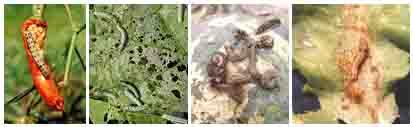 Sâu khoang (sâu ăn tạp) Spodoptera litura hại cây trồng và biện pháp phòng trị