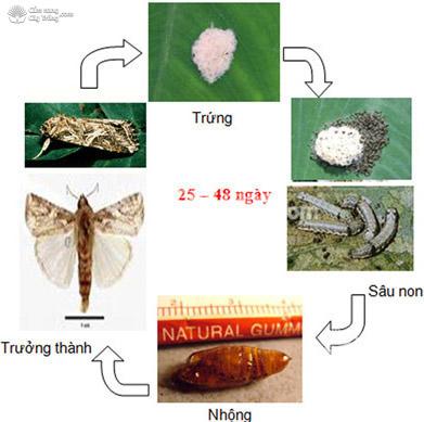 Vòng đời sâu khoang (sâu ăn tạp) Spodoptera litura